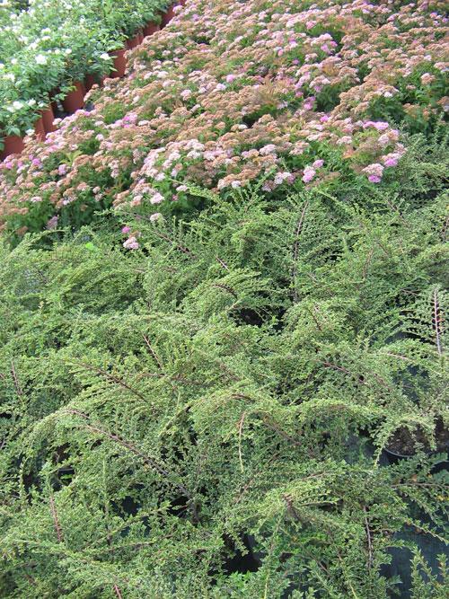 Arbusti da giardino azienda florovivaistica salmaso leonardo - Arbusti da giardino sempreverdi ...
