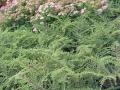 cotoneaster-orizontalis
