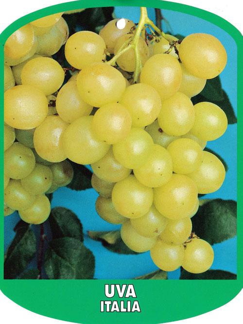 Piante da frutto azienda florovivaistica salmaso leonardo for Piante da frutto nord italia